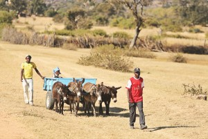 Donkeys and cart